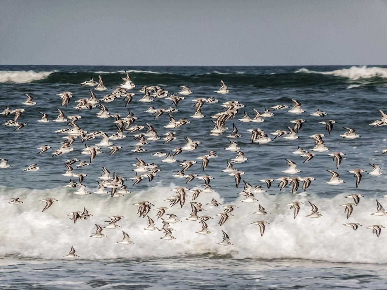 Flock-of Seaguls-Da-Nang-China-beach-Vietnam